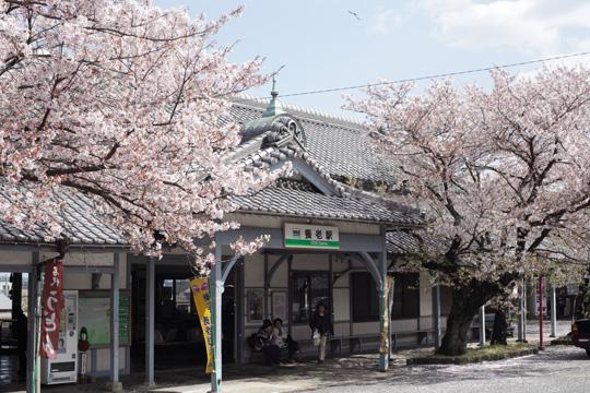 養老駅の桜